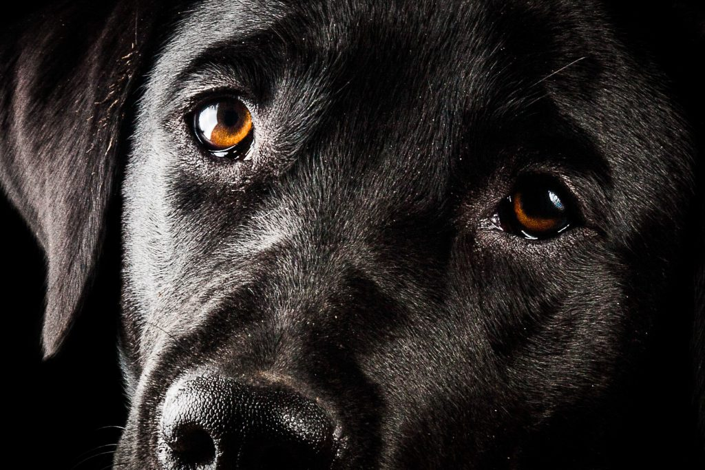 ritratto fotografico cane su sfondo nero
