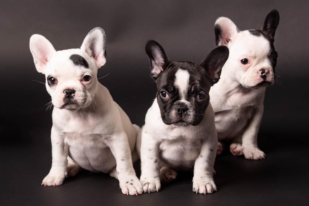foto cani in studio